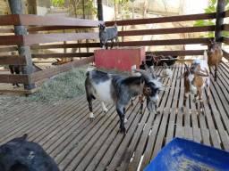 Bodinho. Mini cabra.