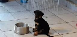 Vendo uma filhote de Rottweiler com pastor alemão com 45 dias