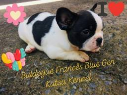 Buldogue Francês Blue Gen e Blue Pied