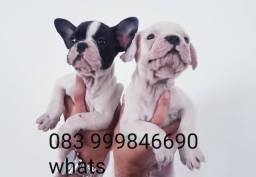 Promoção Filhotes de Bulldog Francês com Pedigree
