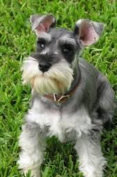 Cão Reprodutor Schnauser