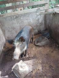 Filhote de Java porco 250