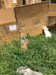 Filhotes de coelhos da raça gigante