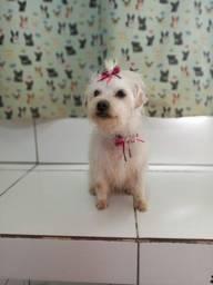LEIA TODO ANÚNCIO :Lhasa/Poodle
