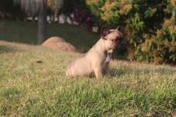 Bulldog Francês Marrom