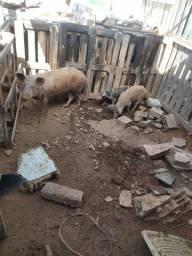1 leitoa duas porcas