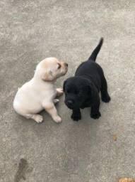 Filhote Labrador / Labradores
