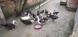 Vendo Patos