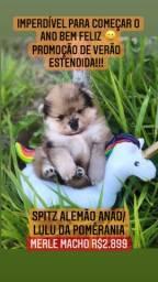Promoção de Verão estendida!Spitz Alemão Anão/Lulu Da Pomêrania Merle R$2.899