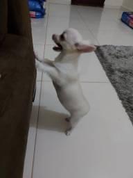 Chihuahua femea com 5 meses