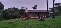 Vende-se rebanho de 43 ovelhas