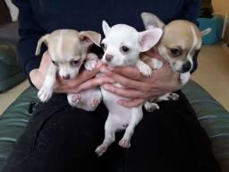 Chihuahua machinhos e femeas com garantias de vida
