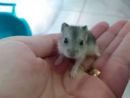 Filhotes hamster anão russo