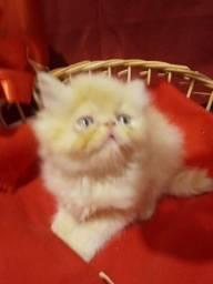 Filhotes de gatos persas exóticos puros.Parcelo cartãoEntrego em Curitiba e região