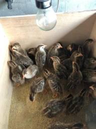 R$ 12,00 pintos de picote ( galinha da Angola )