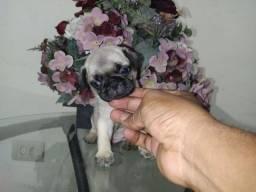 PUG, Pug