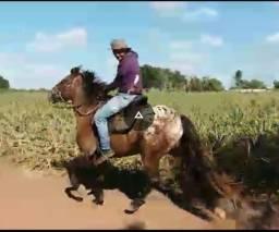 Cavalo palusa já formado (de passada)