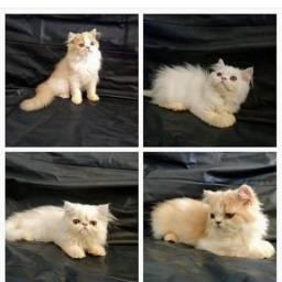 Gatinhos Persa