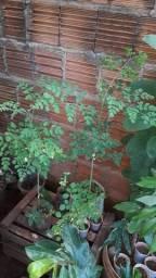 Moringa oleifera a árvore da vida