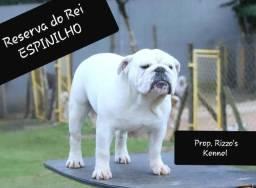 Semên bulldog inglês, inseminação cobertura, genética de respeito