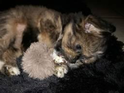 Babys lhasa apso