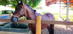 Cavalos Mangalarga Marchador