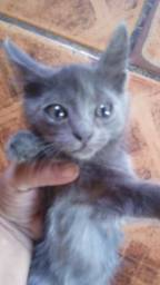 Filhote de Gato Siamês Azul