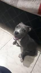 Filhote de Américan Staffordshire Blue <br>Fêmea com 3 meses ! <br>
