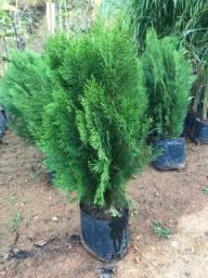 Plantas frutíferas, nativas e ornamentais à venda