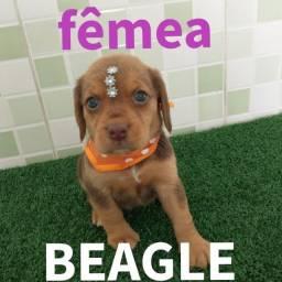 Beagle cor chocolate, linda dos olhos verdes