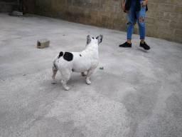 Bulldog francês pirata fêmea