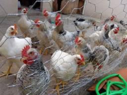 Frangos e galinhas caipiras venda permanente