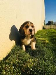 Filhotes de Beagle Mini