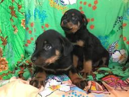 Rottweiler com pedigree em até 18x