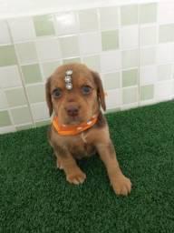 Beagle fêmeas disponíveis em até 12 vezes