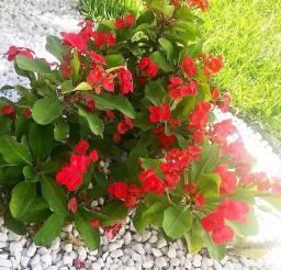 Flores Coroa de Cristo