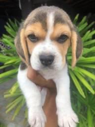 Beagle Filhote Porte Pequeno com Pedigree e Garantia de Saúde