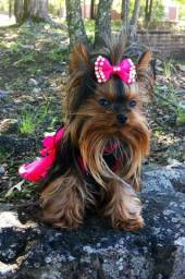 Yorkshire Terrier baby face