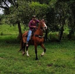 Mangalarga Cavalo