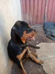 Vendo Rottweiler macho 650 apenas