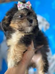 Lhasa seu pet
