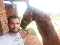 Vendo  égua mangalarga paulista égua de patrão!!!