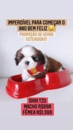 Promoção de verão estendida! Shih Tzu Macho R$990