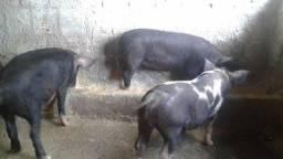 Vendo porcos $1000,00