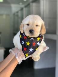 Golden Retriever garantias contra displasia e suporte veterinário gratuito