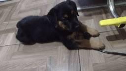 Cachorro rotwailler