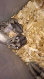 Filhotes de hamster