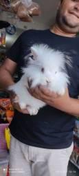 Porquinho da índia, hamster sirio e anão russo, coelho e gerbil pra venda!