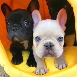 Bulldog Francês machinhos e femeas com garantias de vida