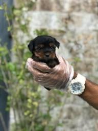 Yorkshire Terrier baby face, pronta entrega - 06 lojas - 11972-7277-78